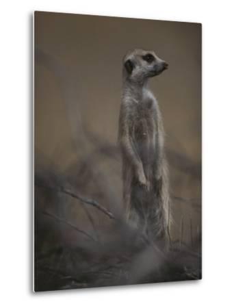 An Adult Meerkat (Suricata Suricatta) Stands on Lookout-Mattias Klum-Metal Print