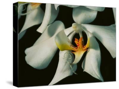 Close View of a Local Wild Species of Orchid on Palawan Island-Tim Laman-Stretched Canvas Print
