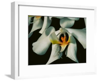 Close View of a Local Wild Species of Orchid on Palawan Island-Tim Laman-Framed Photographic Print