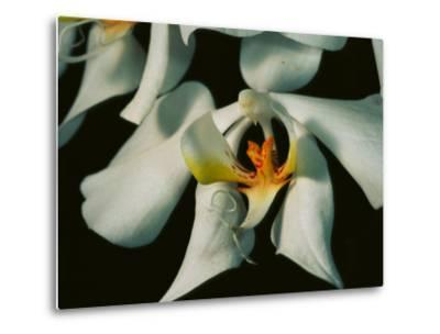 Close View of a Local Wild Species of Orchid on Palawan Island-Tim Laman-Metal Print