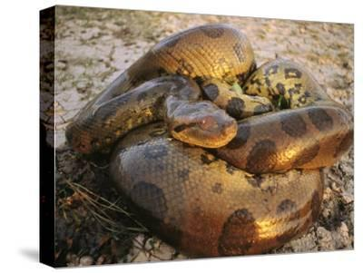 A Coiled Anaconda-Ed George-Stretched Canvas Print