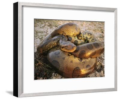 A Coiled Anaconda-Ed George-Framed Photographic Print