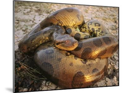 A Coiled Anaconda-Ed George-Mounted Photographic Print