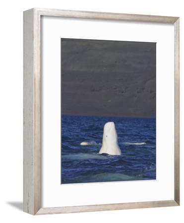 A Beluga Whale Lifts Head out of Water and Spy Hops to Get a View-Norbert Rosing-Framed Photographic Print