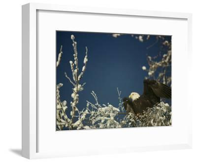 Bald Eagle on Snow-Covered Tree-Steve Raymer-Framed Photographic Print