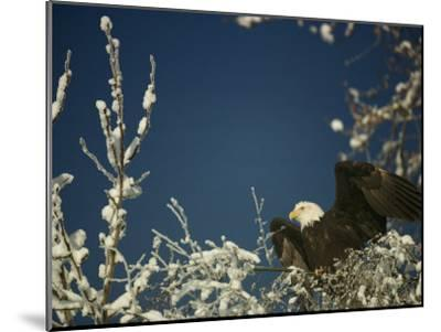 Bald Eagle on Snow-Covered Tree-Steve Raymer-Mounted Photographic Print