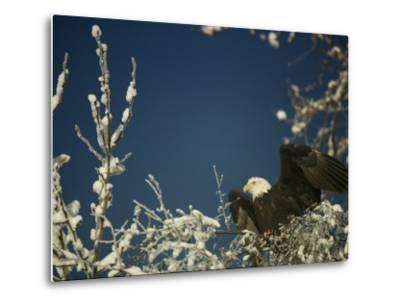 Bald Eagle on Snow-Covered Tree-Steve Raymer-Metal Print
