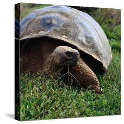 The Galapagos Tortoise is the Largest Living Tortoise, Galapagos, Ecuador-Wes Walker-Stretched Canvas Print