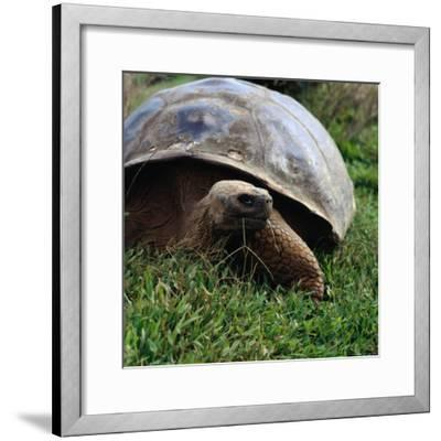 The Galapagos Tortoise is the Largest Living Tortoise, Galapagos, Ecuador-Wes Walker-Framed Photographic Print