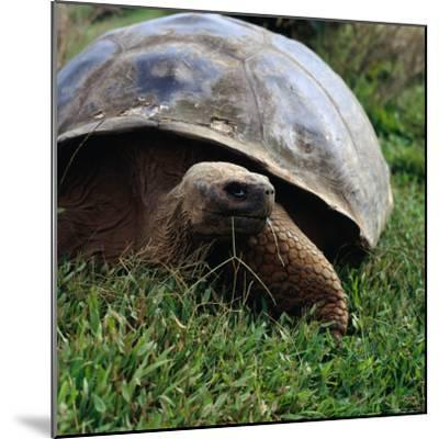 The Galapagos Tortoise is the Largest Living Tortoise, Galapagos, Ecuador-Wes Walker-Mounted Photographic Print