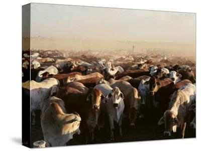 Brahman Cattle are Herded into a Pen on a Simpson Desert Cattle Station-Medford Taylor-Stretched Canvas Print