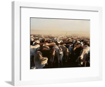Brahman Cattle are Herded into a Pen on a Simpson Desert Cattle Station-Medford Taylor-Framed Photographic Print