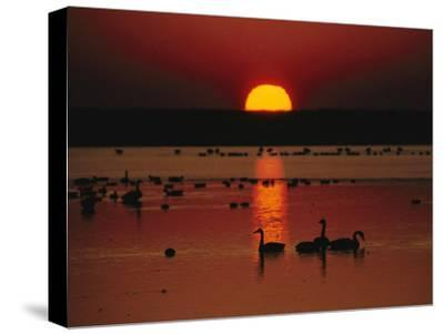 Sunset over Chincoteague Island Marsh and Geese, Virginia--Stretched Canvas Print