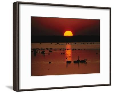Sunset over Chincoteague Island Marsh and Geese, Virginia--Framed Photographic Print