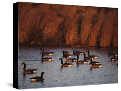 Canada Geese in a Marsh Channel, Chincoteague Island Area, Virginia-Medford Taylor-Stretched Canvas Print