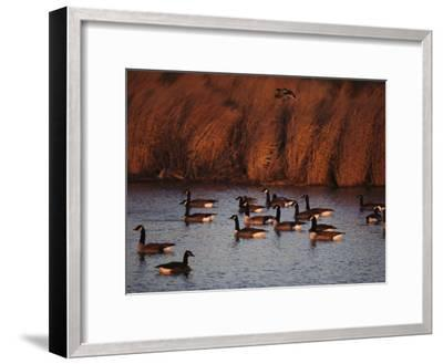 Canada Geese in a Marsh Channel, Chincoteague Island Area, Virginia-Medford Taylor-Framed Photographic Print
