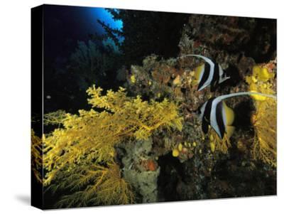 A Pair of Moorish Idols Swim Through a Reef-Tim Laman-Stretched Canvas Print