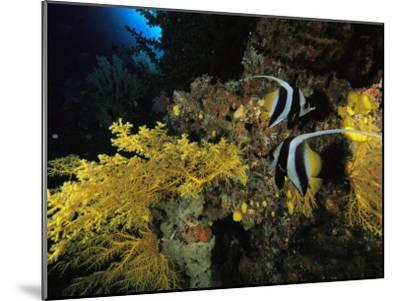 A Pair of Moorish Idols Swim Through a Reef-Tim Laman-Mounted Photographic Print