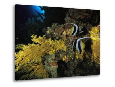 A Pair of Moorish Idols Swim Through a Reef-Tim Laman-Metal Print