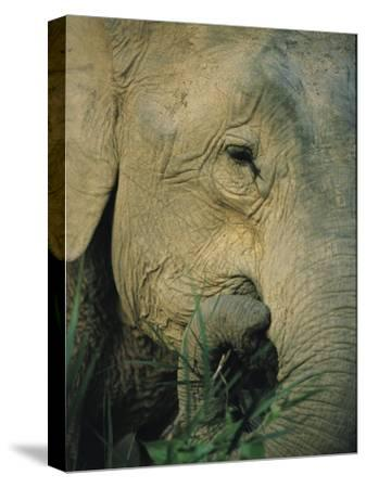 An Asian Elephant Brings a Trunkful of Grass to its Mouth-Tim Laman-Stretched Canvas Print