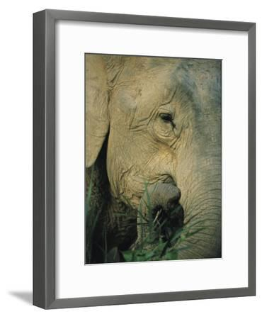 An Asian Elephant Brings a Trunkful of Grass to its Mouth-Tim Laman-Framed Photographic Print