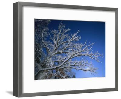 Fresh Snowfall Blankets Tree Branches Viewed against the Blue Sky-Tim Laman-Framed Photographic Print