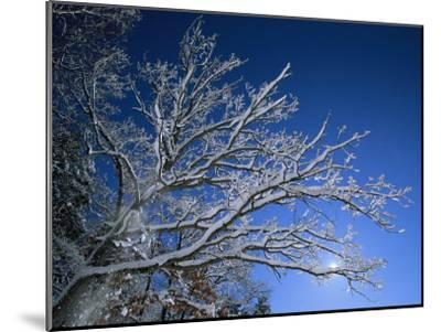 Fresh Snowfall Blankets Tree Branches Viewed against the Blue Sky-Tim Laman-Mounted Photographic Print