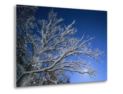 Fresh Snowfall Blankets Tree Branches Viewed against the Blue Sky-Tim Laman-Metal Print