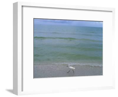 A Snowy Egret Walks Along the Beach at Sanibel Island, Florida-Joel Sartore-Framed Photographic Print