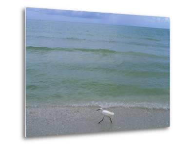 A Snowy Egret Walks Along the Beach at Sanibel Island, Florida-Joel Sartore-Metal Print