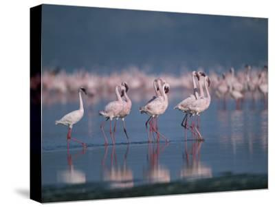 A Group of Greater Flamingos Wade in the Shallow Water of Lake Nakuru-Roy Toft-Stretched Canvas Print