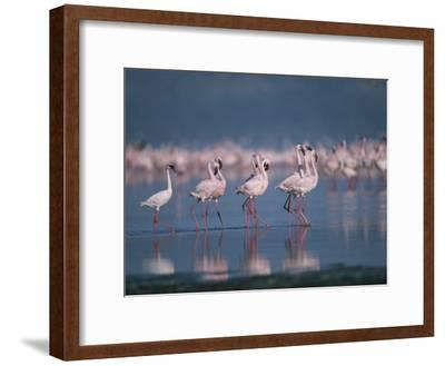 A Group of Greater Flamingos Wade in the Shallow Water of Lake Nakuru-Roy Toft-Framed Photographic Print