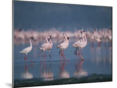 A Group of Greater Flamingos Wade in the Shallow Water of Lake Nakuru-Roy Toft-Mounted Photographic Print