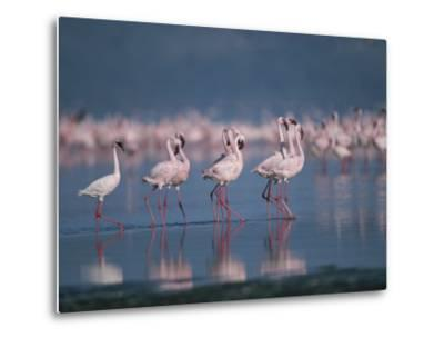 A Group of Greater Flamingos Wade in the Shallow Water of Lake Nakuru-Roy Toft-Metal Print