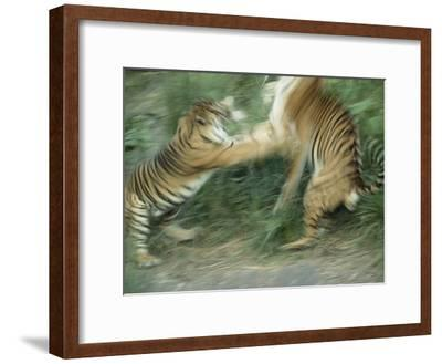 Two Fighting Sumatran Tigers in Blurred Motion-Jason Edwards-Framed Photographic Print