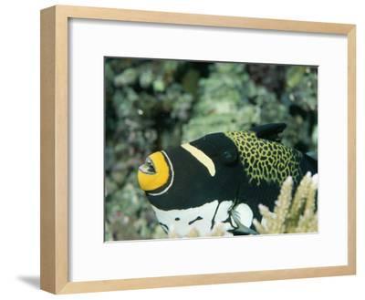 Clown Triggerfish, Balistoides Conspicillum, Near Fingers of Coral-Tim Laman-Framed Photographic Print