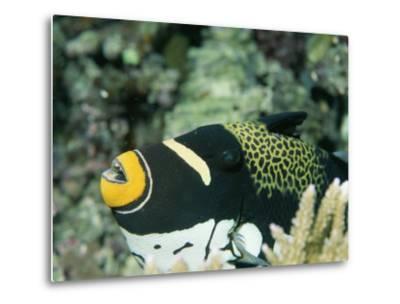 Clown Triggerfish, Balistoides Conspicillum, Near Fingers of Coral-Tim Laman-Metal Print