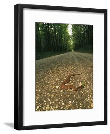 A Water Moccasin Snake Opens its Mouth on a Road in Mississippi-Stephen Alvarez-Framed Photographic Print