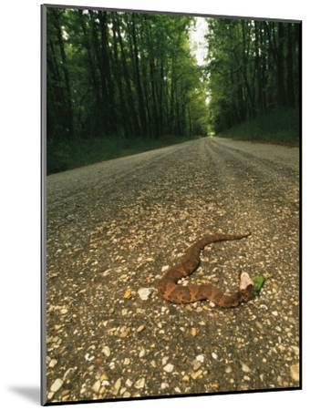 A Water Moccasin Snake Opens its Mouth on a Road in Mississippi-Stephen Alvarez-Mounted Photographic Print