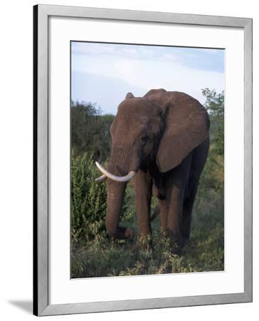 African Elephant, Tanzania-D^ Robert Franz-Framed Photographic Print