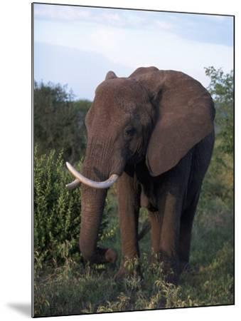 African Elephant, Tanzania-D^ Robert Franz-Mounted Photographic Print