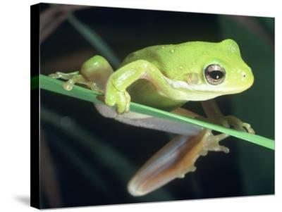 Frog Climbing on to a Leaf, Louisiana-Kevin Leigh-Stretched Canvas Print