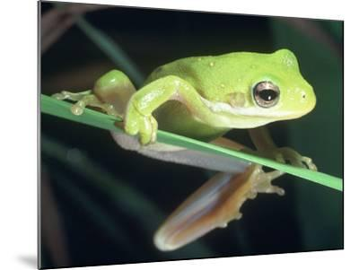 Frog Climbing on to a Leaf, Louisiana-Kevin Leigh-Mounted Photographic Print