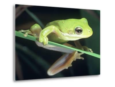 Frog Climbing on to a Leaf, Louisiana-Kevin Leigh-Metal Print