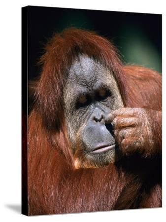 Orangutan, Borneo-Stuart Westmorland-Stretched Canvas Print