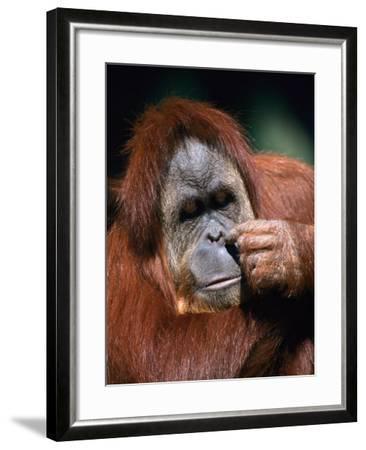 Orangutan, Borneo-Stuart Westmorland-Framed Photographic Print
