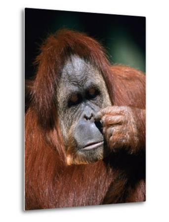Orangutan, Borneo-Stuart Westmorland-Metal Print
