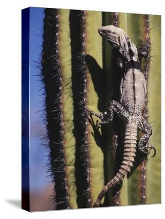 A Spiny-Tailed Iguana Climbing a Cardon Cactus-Ralph Lee Hopkins-Stretched Canvas Print