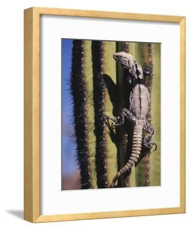 A Spiny-Tailed Iguana Climbing a Cardon Cactus-Ralph Lee Hopkins-Framed Photographic Print