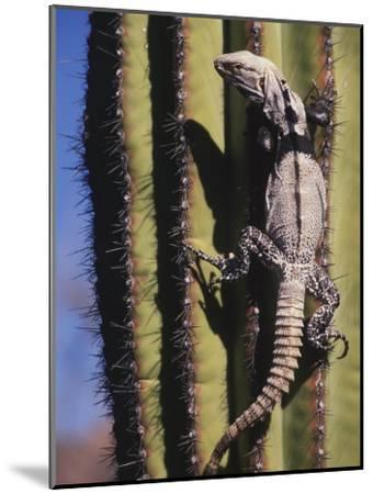 A Spiny-Tailed Iguana Climbing a Cardon Cactus-Ralph Lee Hopkins-Mounted Photographic Print